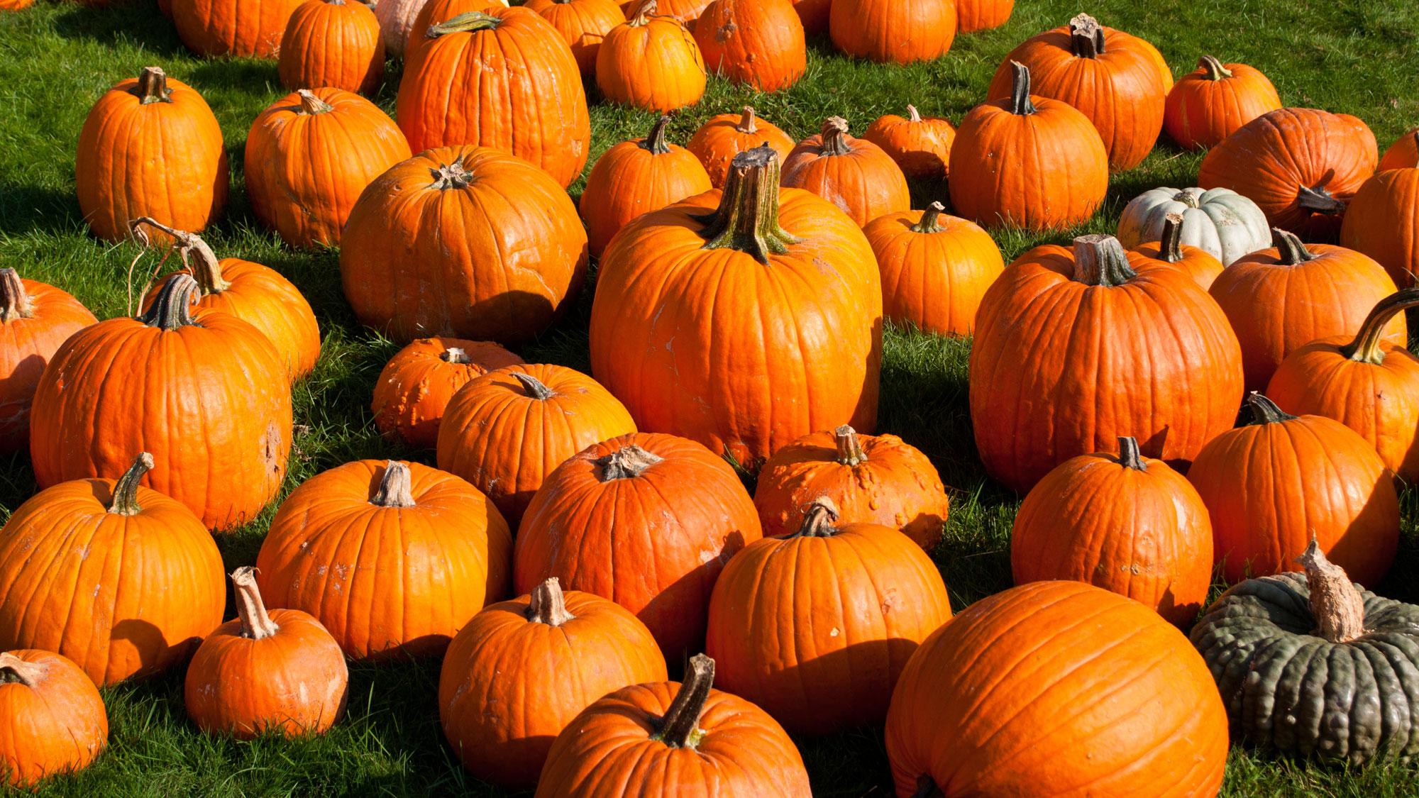 Pumpkins at Reesor's Farm.